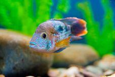 Free Colorful Fish Aquarium Stock Image - 17682351