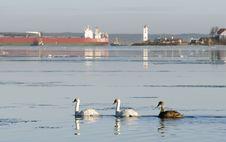 Free Three Swans Stock Photos - 17682603