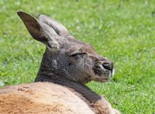 Free Kangaroo 01 Stock Photography - 17682942