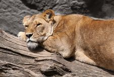Free Sleepy Lion Royalty Free Stock Photos - 17683058