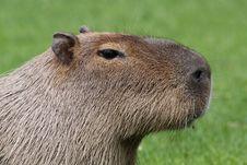 Adult Capybara 01 Stock Photography