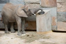 Free Elephant At The Zoo Royalty Free Stock Image - 17683496
