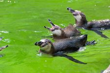 Free Penguins In The Water Royalty Free Stock Images - 17683529