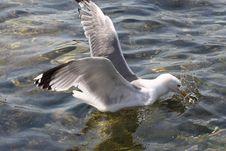 Gull On Atlantic Ocean Stock Photo