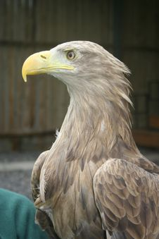 Free White Tailed Sea Eagle, Haliaeetus Albicilla Royalty Free Stock Image - 17684636