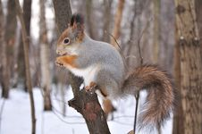 Free Red Squirrel. Royalty Free Stock Images - 17685199