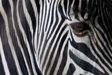 Free Zebra Closeup Stock Photography - 17685912