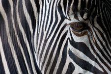 Free Zebra Closeup Stock Photography - 17685912