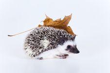 Free Cute Hedgehog Stock Photography - 17687192