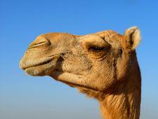 Free Arabian Camel Head Close-Up Stock Photos - 17687303