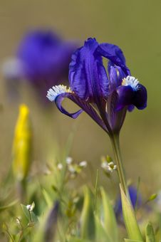 Free Blue Dwarf Iris Royalty Free Stock Photo - 17687595