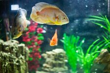 Free Aquarium Fish Royalty Free Stock Photography - 17687757