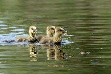 Greylag Goose Goslings Royalty Free Stock Photo