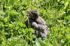 Free Baby Robin Royalty Free Stock Photography - 17687807