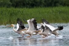 Free White Pelicans Flock Stock Images - 17687904