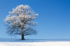 Free Tree Covered With Hoarfrost Royalty Free Stock Image - 17687996