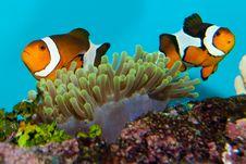 Free Clownfish Pair Stock Photo - 17688080