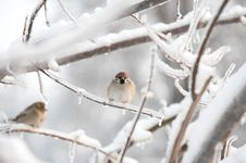 Free Tree Sparrow Royalty Free Stock Images - 17688179