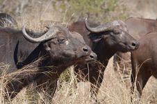 Free Herd Of Cape Buffalo In The African Bush Stock Photo - 17688220
