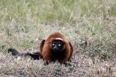 Free Lemure Alert Stock Photos - 17688243