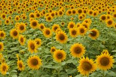 Free Ripe Sunflowers Field Stock Images - 17688614