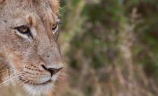 Free Young Male Lion In The African Wilderness Stock Photo - 17688690