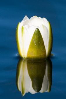 Free White Waterlily Bud Royalty Free Stock Images - 17688719