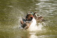 Free Mandarin Duck Drake Splashing Royalty Free Stock Photography - 17688757