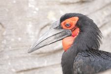 Free Cafer Or Southern Ground Hornbill Stock Images - 17689004