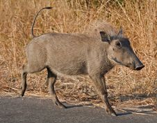 Free Warthog Piglet In Africa Stock Images - 17689064