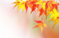 Autumnal, Red Leaves Of Mable Stock Photography