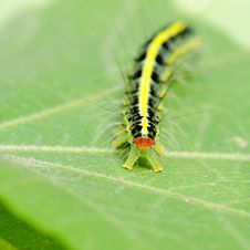 Free A Cute Caterpillar On Leaf Royalty Free Stock Images - 17689459