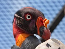 Free King Vulture Royalty Free Stock Photo - 17689825