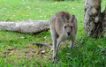 Free Eastern Grey Kangaroo Stock Photos - 17690053