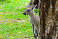 Free Eastern Grey Kangaroo Stock Photography - 17690062