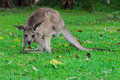 Free Eastern Grey Kangaroo Royalty Free Stock Photo - 17690075
