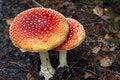 Free Mushrooms Stock Photography - 17693232