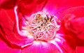 Free Pollens Of A Red Flower Royalty Free Stock Photography - 17697597