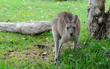 Eastern Grey Kangaroo Stock Photos