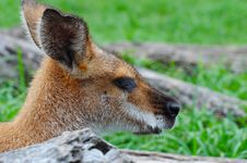 Free Whiptail (Pretty-faced) Wallaby Stock Images - 17690154