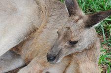 Free A Resting Kangaroo Stock Photo - 17690180