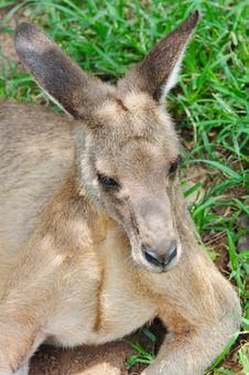 Free A Resting Kangaroo Royalty Free Stock Photography - 17690187