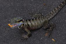 Free Australian Eastern Water Dragon (Lizard) Stock Photography - 17690222