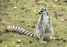 Free Ring Tailed Lemur Royalty Free Stock Image - 17691046