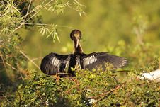 Free Anhinga Preening Royalty Free Stock Images - 17691199
