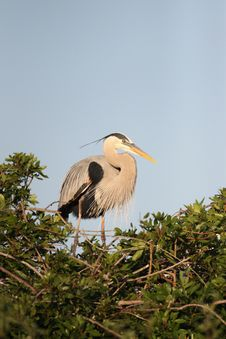 Free Great Blue Heron Stock Image - 17691201