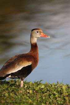 Free Black-bellied Whistling-Duck Stock Image - 17691211