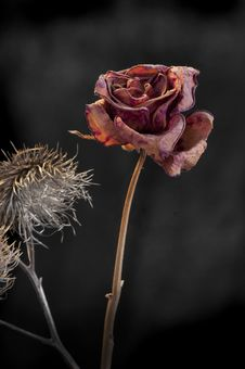Free Duality Of Wilting Rose And Thistle Stock Photos - 17691293