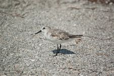 Free Sanderling On The Sand Stock Images - 17691504