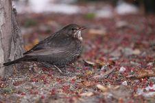 Free Female Blackbird Royalty Free Stock Image - 17692386